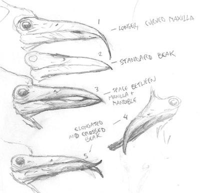 Beak variation
