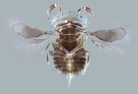 A tiny parasite wasp that lays its eggs in other animals. It's just .75 millimeters long