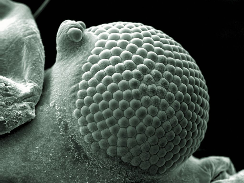 Each of these bumps contain lenses, which work together to form a greenfly's eye. It can spot quick movements, but can't see far