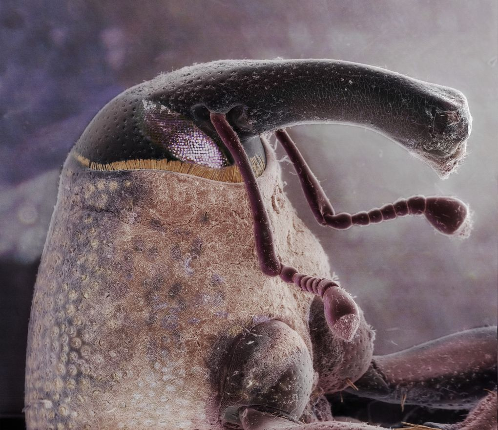 This scanning electron image shows the head of a boll weevil